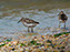 Cape Henlopen State Park, Least Sandpipers
