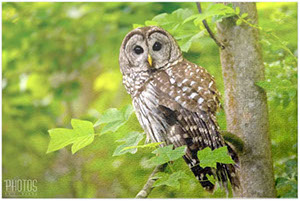 Barred Owl Puzzle